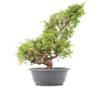 Juniperus chinensis Itoigawa, 36 cm, ± 20 jaar oud