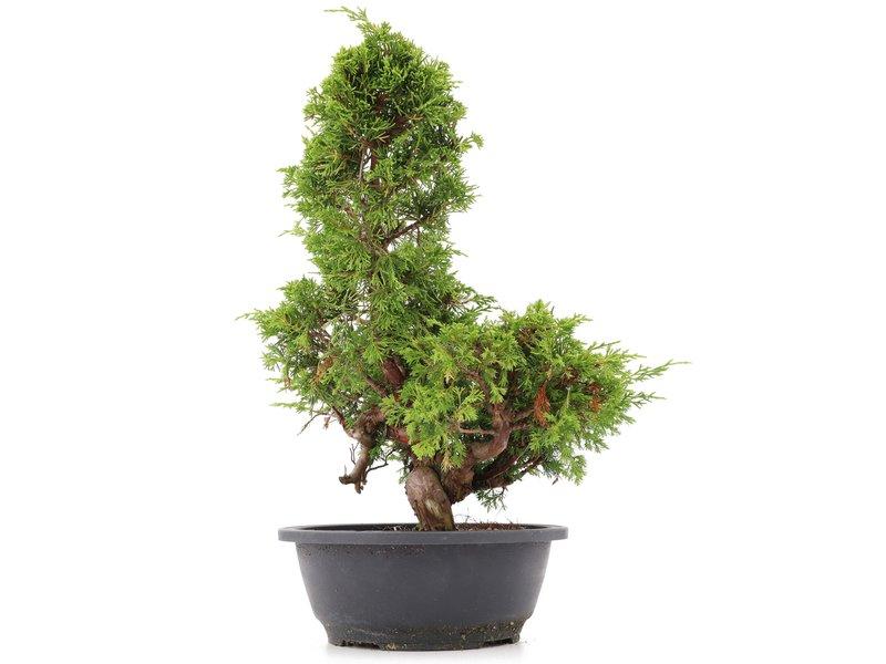 Juniperus chinensis Itoigawa, 36 cm, ± 20 jaar oud, met interessante jin en shari