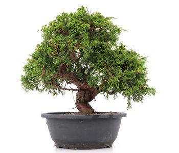 Juniperus chinensis Itoigawa, 28 cm, ± 20 jaar oud