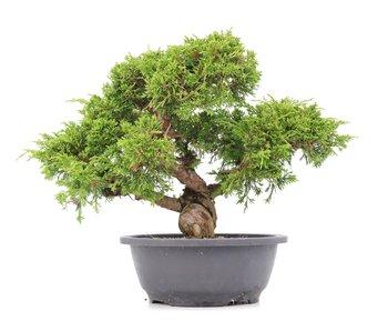 Juniperus chinensis Itoigawa, 27 cm, ± 20 años