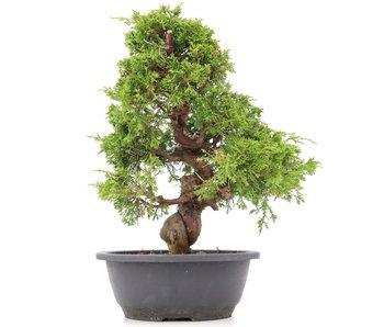 Juniperus chinensis Itoigawa, 33 cm, ± 20 years old