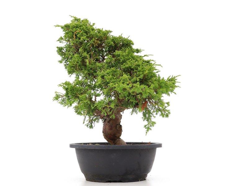 Juniperus chinensis Itoigawa, 33 cm, ± 20 jaar oud, met interessante jin en shari