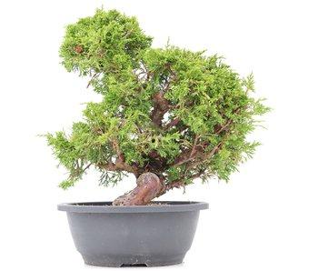 Juniperus chinensis Itoigawa, 32 cm, ± 20 años