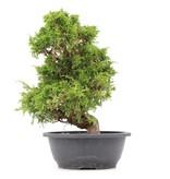Juniperus chinensis Itoigawa, 32 cm, ± 20 jaar oud, met interessante jin en shari