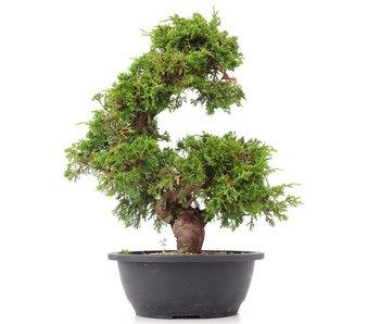 Juniperus chinensis Itoigawa, 34 cm, ± 20 años