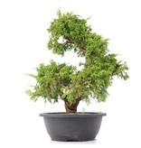 Juniperus chinensis Itoigawa, 34 cm, ± 20 jaar oud, met interessante jin en shari