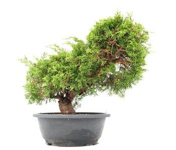 Juniperus chinensis Itoigawa, 28 cm, ± 20 años