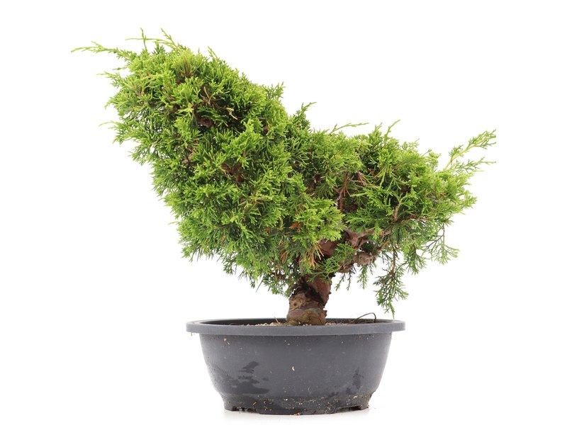 Juniperus chinensis Itoigawa, 28 cm, ± 20 jaar oud, met interessante jin en shari