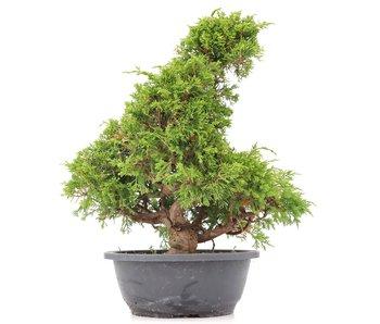 Juniperus chinensis Itoigawa, 34 cm, ± 20 jaar oud