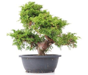 Juniperus chinensis Itoigawa, 30 cm, ± 20 años