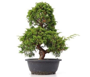 Juniperus chinensis Itoigawa, 38 cm, ± 20 años