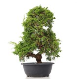 Juniperus chinensis Itoigawa, 38 cm, ± 20 jaar oud, met interessante jin en shari