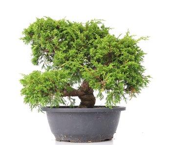 Juniperus chinensis Itoigawa, 25 cm, ± 20 años