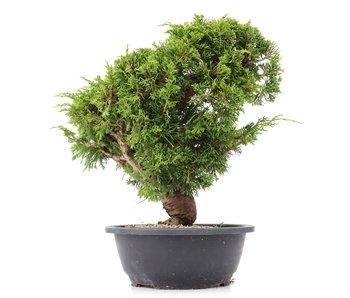 Juniperus chinensis Itoigawa, 29 cm, ± 20 years old