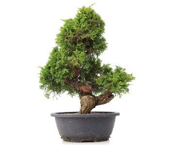 Juniperus chinensis Itoigawa, 35 cm, ± 20 años