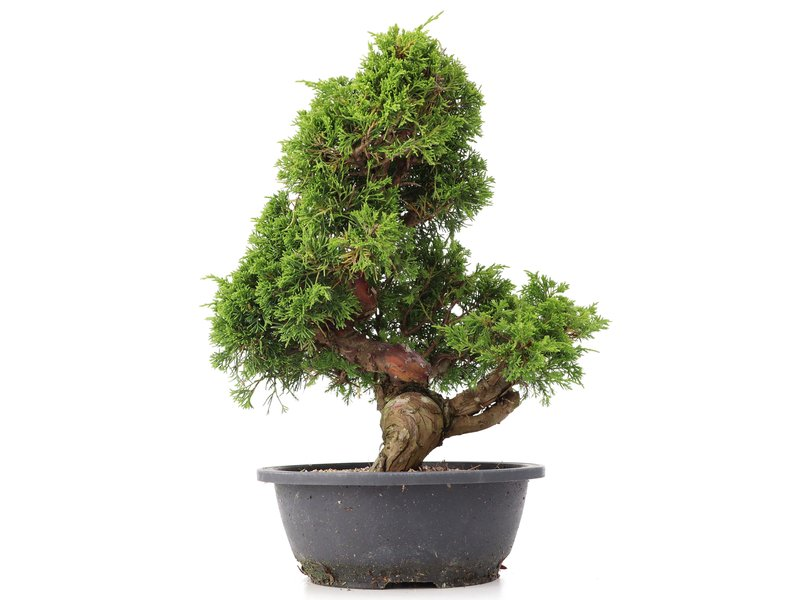 Juniperus chinensis Itoigawa, 35 cm, ± 20 jaar oud, met interessante jin en shari