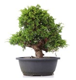 Juniperus chinensis Itoigawa, 25 cm, ± 20 jaar oud, met interessante jin en shari