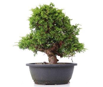 Juniperus chinensis Itoigawa, 25 cm, ± 20 years old
