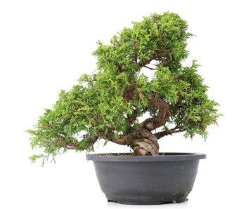 Juniperus chinensis Itoigawa, 29 cm, ± 20 años