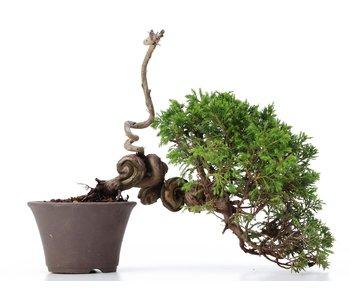 Juniperus chinensis Itoigawa, 26,5 cm, ± 18 jaar