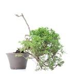 Juniperus chinensis Itoigawa, 26,5 cm, ± 18 jaar oud, met interessante jin en shari