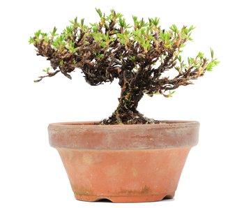 Potentilla fruticosa, 9 cm, ± 8 jaar oud