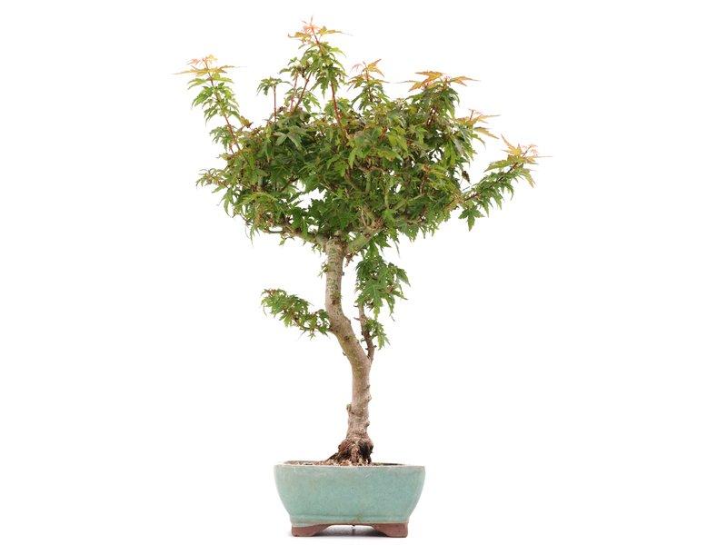Acer palmatum Kotohime, 35 cm, ± 8 jaar oud, met zeer kleine blaadjes