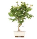 Acer palmatum Kotohime, 32 cm, ± 8 jaar oud, met zeer kleine blaadjes