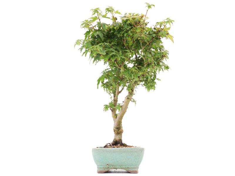 Acer palmatum Kotohime, 33 cm, ± 8 jaar oud, met zeer kleine blaadjes