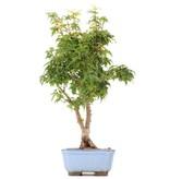Acer palmatum Kotohime, 37 cm, ± 8 jaar oud, met zeer kleine blaadjes