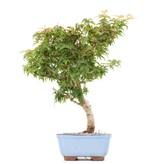Acer palmatum Kotohime, 31 cm, ± 8 jaar oud, met zeer kleine blaadjes