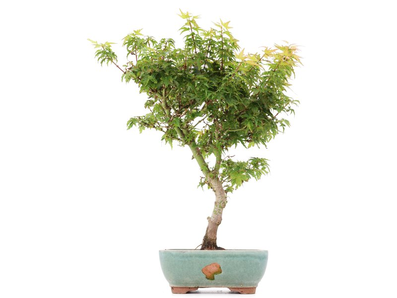 Acer palmatum Kotohime, 37,5 cm, ± 8 jaar oud, met zeer kleine blaadjes
