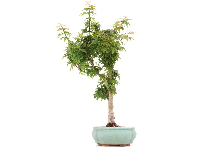 Acer palmatum Kotohime, 40 cm, ± 8 jaar oud, met zeer kleine blaadjes in een beschadigde pot