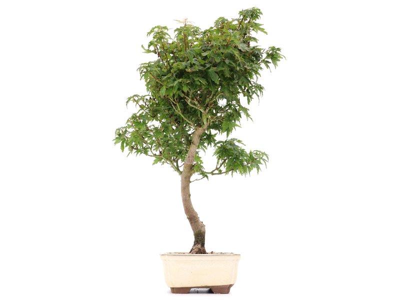 Acer palmatum Kotohime, 43 cm, ± 8 jaar oud, met zeer kleine blaadjes