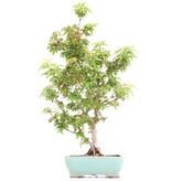 Acer palmatum Kotohime, 38 cm, ± 8 jaar oud, met zeer kleine blaadjes
