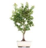 Acer palmatum Kotohime, 42,5 cm, ± 8 jaar oud, met zeer kleine blaadjes