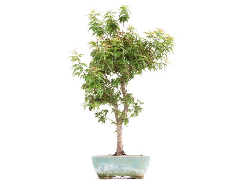Acer palmatum Kotohime, 44 cm, ± 8 jaar oud, met zeer kleine blaadjes