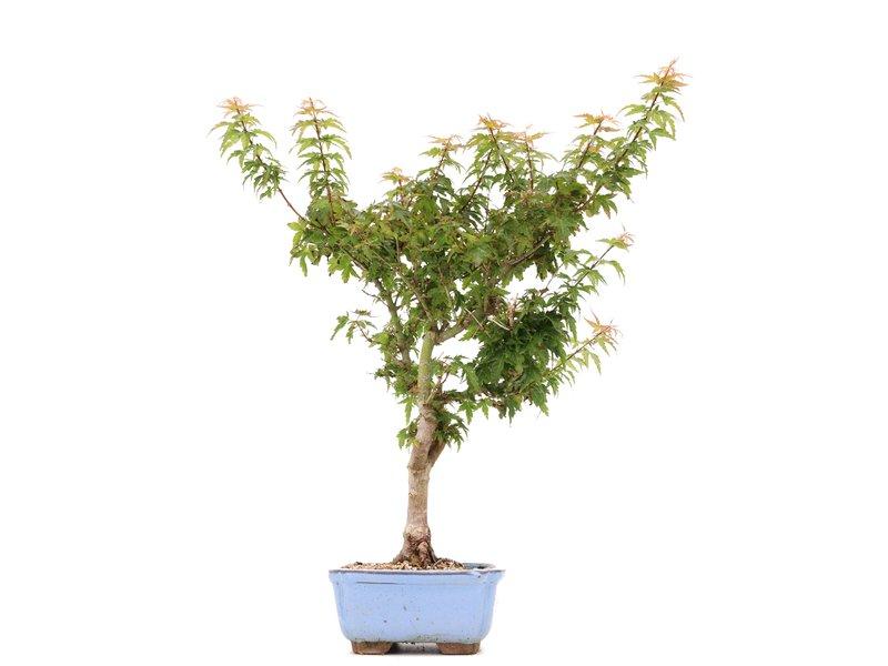Acer palmatum Kotohime, 41 cm, ± 8 jaar oud, met zeer kleine blaadjes