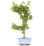 Acer palmatum Kotohime, 36 cm, ± 8 jaar oud, met zeer kleine blaadjes