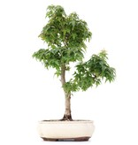 Acer palmatum Kotohime, 35,5 cm, ± 8 jaar oud, met zeer kleine blaadjes