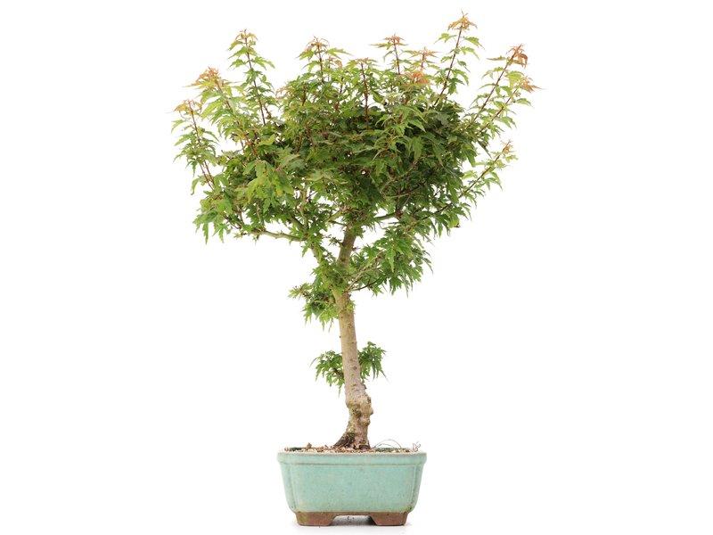 Acer palmatum Kotohime, 40 cm, ± 8 jaar oud, met zeer kleine blaadjes