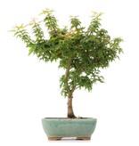 Acer palmatum Kotohime, 34 cm, ± 8 jaar oud, met zeer kleine blaadjes