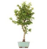 Acer palmatum Kotohime, 42 cm, ± 8 jaar oud, met zeer kleine blaadjes