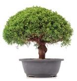 Juniperus chinensis Kishu, 28 cm, ± 15 jaar oud