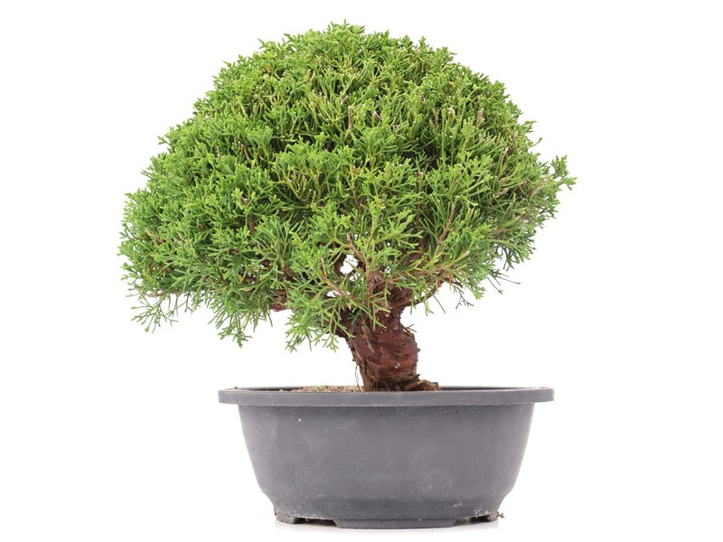 Juniperus chinensis Kishu, 26,5 cm, ± 15 jaar oud