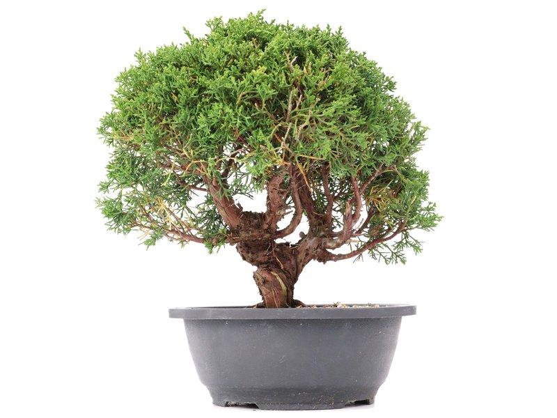 Juniperus chinensis Kishu, 27,5 cm, ± 15 jaar oud