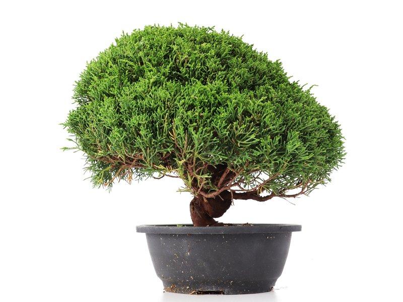 Juniperus chinensis Kishu, 27 cm, ± 15 jaar oud