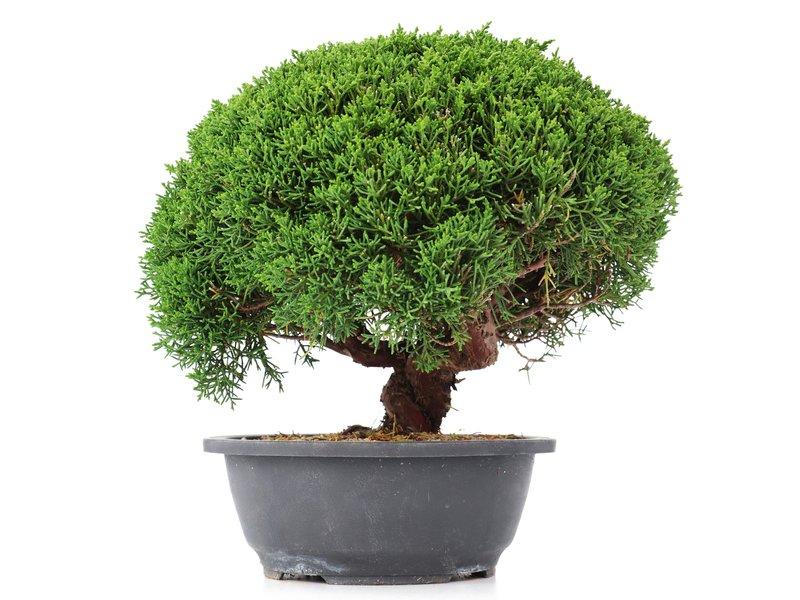 Juniperus chinensis Kishu, 24,5 cm, ± 15 jaar oud