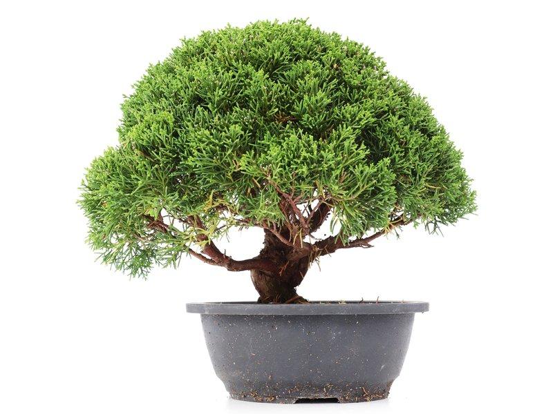 Juniperus chinensis Kishu, 24 cm, ± 15 jaar oud