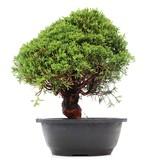 Juniperus chinensis Kishu, 29 cm, ± 15 jaar oud